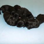 6 zwarte reutjes